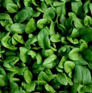 Spinach F1 Amazon Appx 200 seeds - Baby leaf or Cook